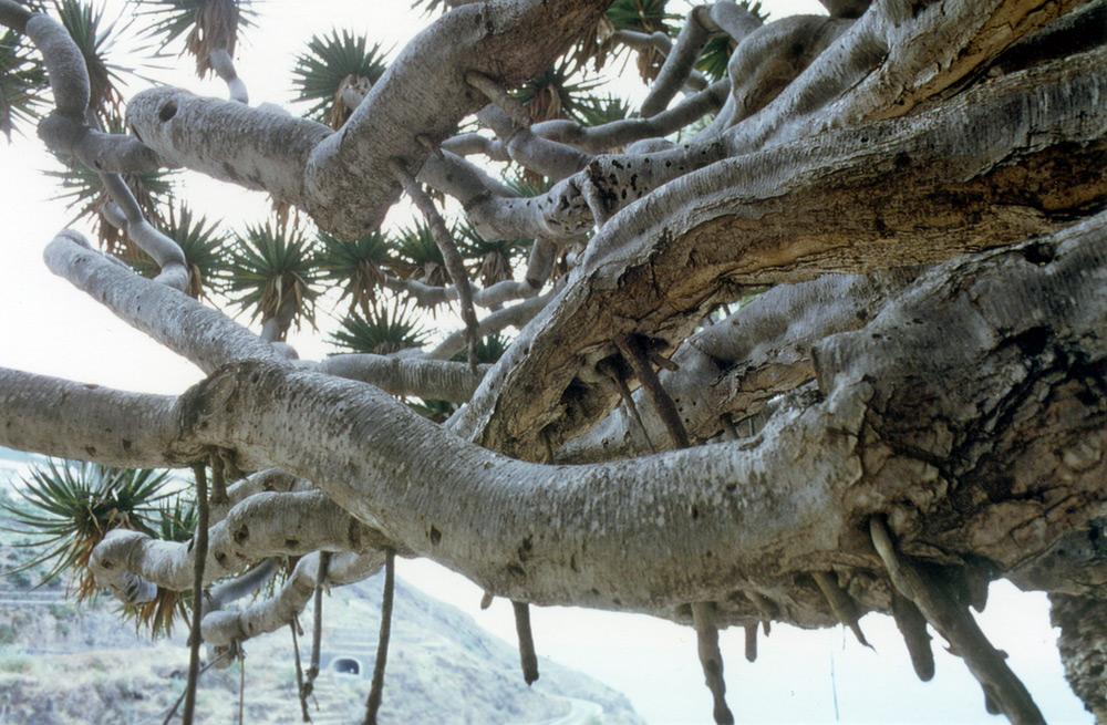Foto/Dibujo 9: Ramas laterales del drago con raíces aéreas en la parte inferior de la copa. (Foto: G. Sinn)